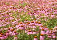 Echinacea – The Ultimate Immunity Booster