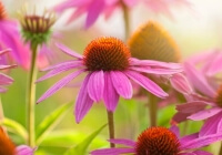 Why is fresh echinacea better than dried?